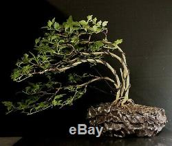 Bonsai Tree Japanese Musk Maple Wind Swept 11 1/4 Tall, High Fired Signed Pot